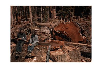 Lumbermen Conversing Among Fallen Giant Redwood Trees Photographic Print by B. Anthony Stewart