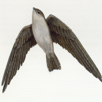 A Painting of a White Nest Swiftlet Giclee Print by Sally J. Bensusen
