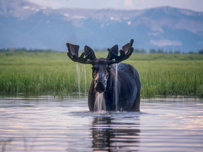 Water Pours from the Antlers of a Bull Moose Lifting His Head from Beaverdam Creek Photographic Print by Tom Murphy