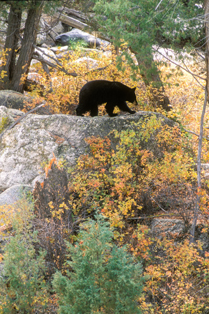 A Black Bear Forages for Rose Hips and Leafy Plants Along the Yellowstone River Photographic Print by Tom Murphy