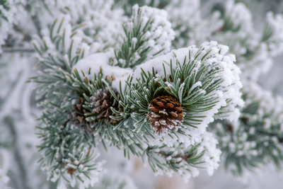 Snow Covers the Branches of a Lodgepole Pine Tree Photographic Print by Tom Murphy