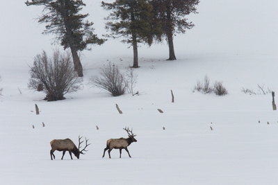 Two Bull Elks Cross a Snowy Field in Wyoming's Gros Ventre Wilderness Area Photographic Print by Steve Winter