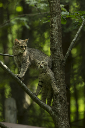 A Captive Wildcat, Felis Sylvestris, and Her Kitten, Climbing a Tree in an Enclosure Photographic Print by Norbert Rosing