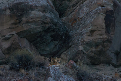 A Female Cougar and Her Kittens Rest in a Cave Entrance in Wyoming's Bridger Teton National Forest Photographic Print by Steve Winter