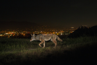 A Remote Camera Captures a Coyote in Griffith Park Photographic Print by Steve Winter