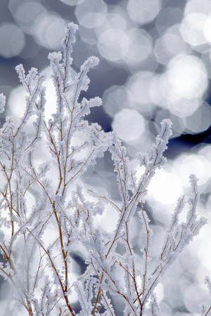 Heavy Frost Formed on Dry Sweet Clover Stems During an Early Morning Fog in the Upper Lamar Valley Photographic Print by Tom Murphy
