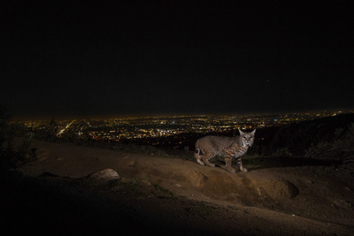 A Remote Camera Captures a Bobcat in Griffith Park Photographic Print by Steve Winter