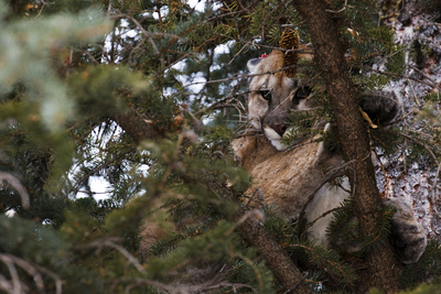 A Cougar, Treed by Hounds, to Be Tranquilized and Fitted with a Tracking Device Photographic Print by Steve Winter