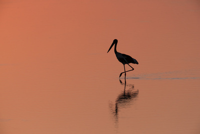 A Black-Necked Stork, Ephippiorhynchus Asiaticus, in Water, Silhouetted at Sunset Photographic Print by Roy Toft