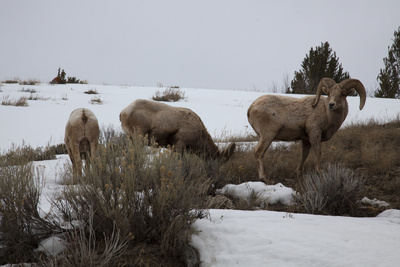 Bighorn Sheep Graze in a Snowy Field in Teton National Park Photographic Print by Steve Winter