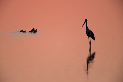 A Silhouetted Black-Necked Stork, and a Brood of Small Birds, in Water at Sunset Photographic Print by Roy Toft