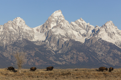 A Herd of Bison Graze in Grand Teton National Park Photographic Print by Steve Winter