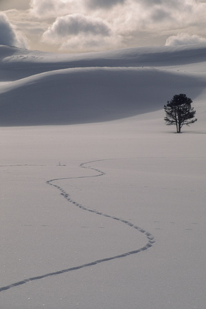 A Lone Lodgepole Pine Tree and Coyote Tracks in Fresh Snow Photographic Print by Tom Murphy