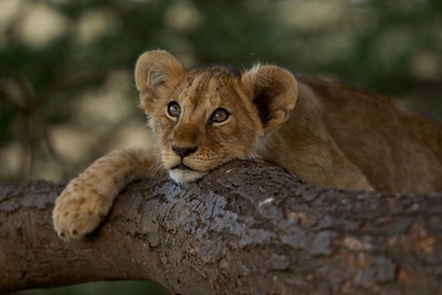 A Lion Cub Rests on a Tree Branch in Serengeti National Park Photographic Print by Michael Nichols