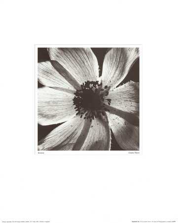 Anemone I Reproduction d'art