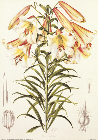 Lilium Centrifolium Posters by Lilian Snelling