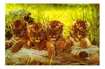 Tiger Cubs Print
