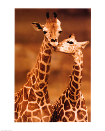 Girafe - Premier amour Reproduction d'art