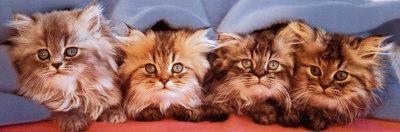 Cats under Blanket Photo