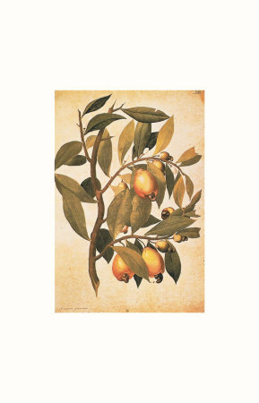 Avicennia Germinans Prints by Jacopo Ligozzi
