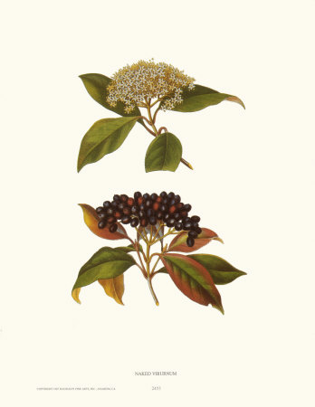 Naked Viburnum Prints