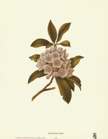 Mountain Laurel Prints