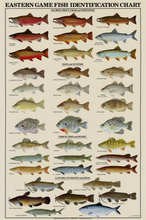 eastern gamefish identification chart posters allposters game fish 299x450
