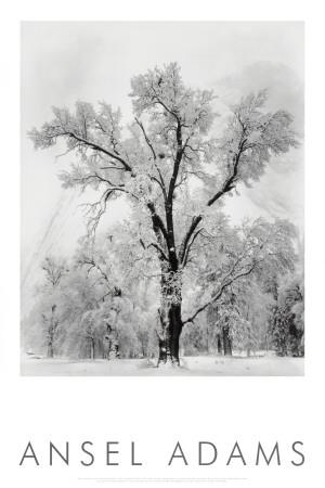 Chêne dans une tempête de neige, Yosemite National Park, 1948, photo par Ansel Adams