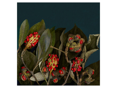 Red Leaves Magnolia Fruits Poster