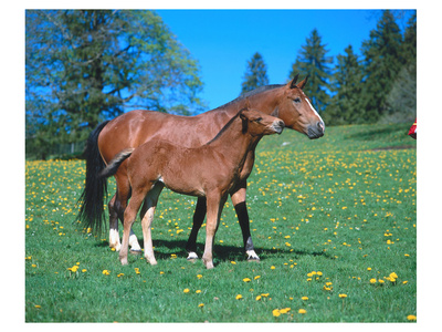 Freiberger mare with foal Prints