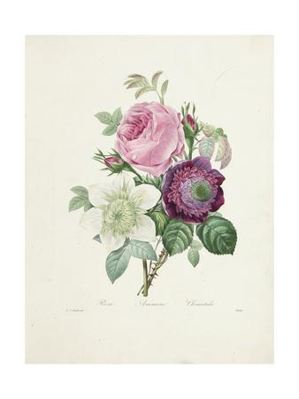 Rose Giclee Print by Pierre-Joseph Redouté