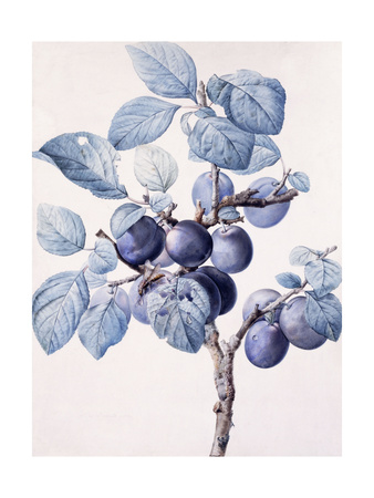 The Branch of a Plum-Tree Bearing Fruit with a Wasp Drinking Water on a Leaf Giclee Print by Pierre-Joseph Redouté