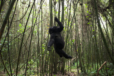 Using its Mouth, Teeth and Hand, a Young Mountain Gorilla Hangs from a Vine in a Bamboo Forest Photographic Print by Eric Kruszewski