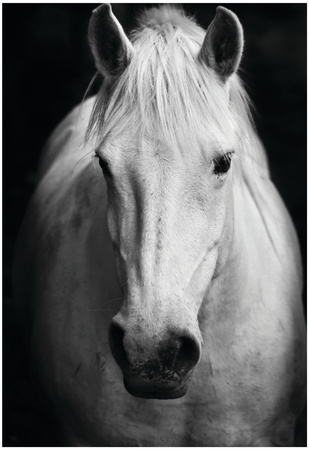 White Horse's Black And White Art Portrait Prints