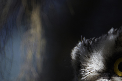 Tengmalm's Owl (Aegolius Funereus) Close-Up of Eye. Kuusamo Finland Photographic Print by Markus Varesvuo