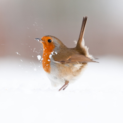 Robin (Erithacus Rubecula) Displaying in Snow, Nr Bradworthy, Devon, UK Stampa fotografica di Ross Hoddinott