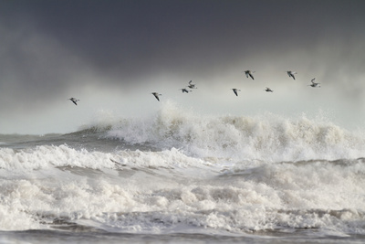 Curlews (Numenius Arquata) Group Flying over the Sea During Storm Photographic Print by Ben Hall