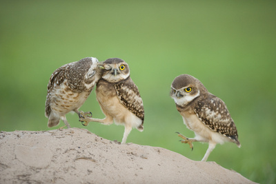 Two Newly Fledged Burrowing Owl Chicks (Athene Cunicularia), Pantanal, Brazil Photographic Print by Bence Mate