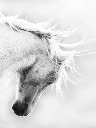 Wild Horse / Mustang Shaking Head and Mane, Adobe Town Herd Area, Southwestern Wyoming, Usa Photographic Print by Carol Walker