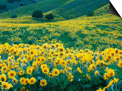 Arrowleaf Balsamroot in Bloom, Foothills of Bear River Range Above Cache Valley, Utah, Usa Prints by Scott T. Smith