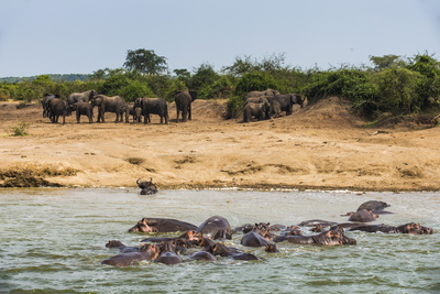 Hippopotamus (Hippopotamus Amphibious) Group Bathing with a Group of Elephants Standing in the Back Photographic Print by Michael Runkel
