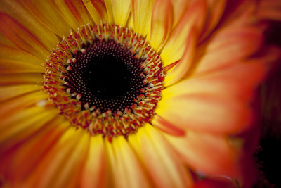 Close Up Portrait of a Gerber or Gerbera Daisy Photographic Print by Karine Aigner
