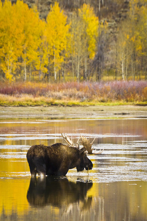 A Bull Moose Eats from Oxbow Bend in Grand Teton National Park, Wyoming Photographic Print by Mike Cavaroc