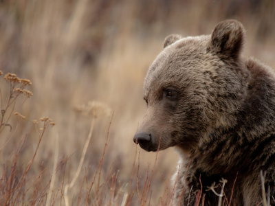 Close Up of a Wild Grizzly Bear, Glacier National Park, Montana Photographic Print by Steven Gnam