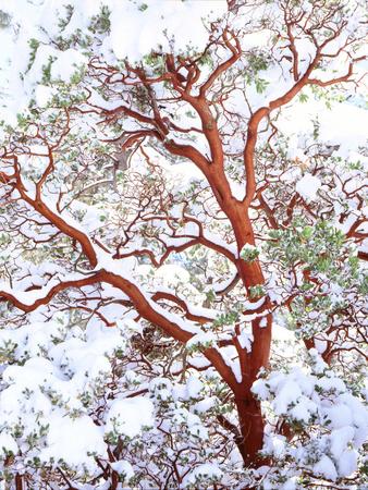 USA, California. a Snow-Covered Manzanita Bush Photographic Print by  Jaynes Gallery