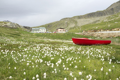 Italy, Stelvio, Eriophorum in Full Bloom at Gavia Pass Photographic Print by Michele Molinari