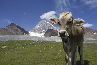Italy, Stelvio, Cattle of the Bruna Alpina Breed Photographic Print by Michele Molinari