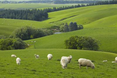 Farmland and Sheep, South Otago, South Island, New Zealand Photographic Print by David Wall