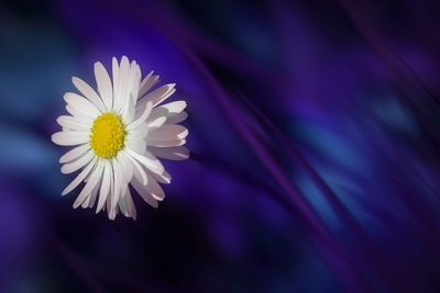 Blue Daisy Photographic Print by Marco Carmassi