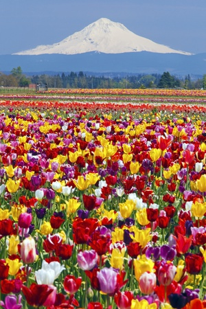 Mt.Hood over Tulips Field, Wooden Shoe Tulip Farm, Woodburn Oregon Photographic Print by Craig Tuttle